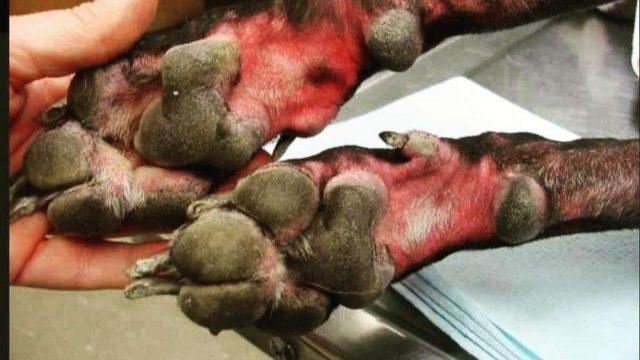 Patas de perro quemadas por lejía