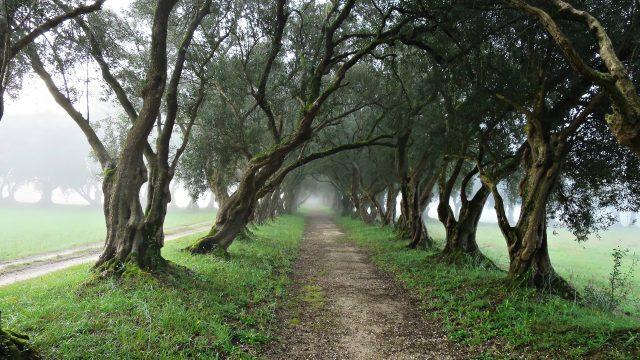 Paseo de los Olivos, en el Pazo de Santa Cruz de Rivadulla, en Vedra