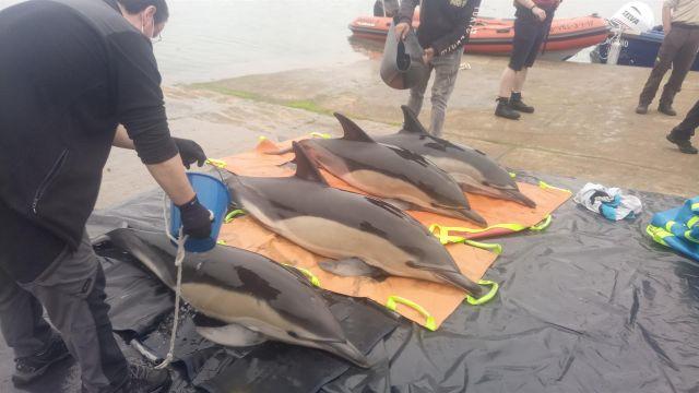 Liberados cuatro delfines que quedaron varados en la ría de Arousa.