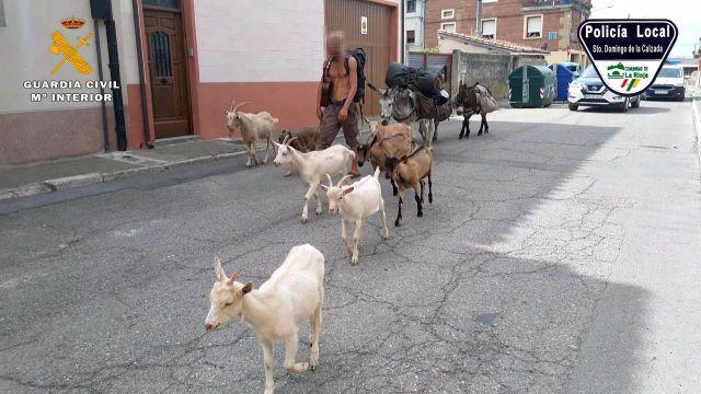 El peregrino francés con los animales.