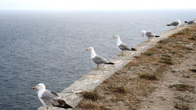 Varias de estas aves en las Islas Cíes.